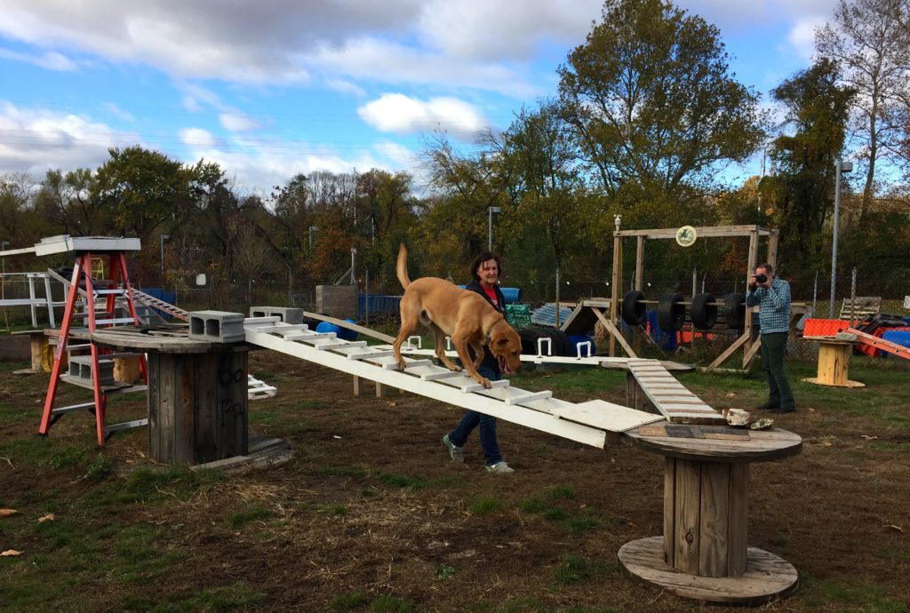 A dog in training at the PennVet Working Dog Center goes through the agility course.
