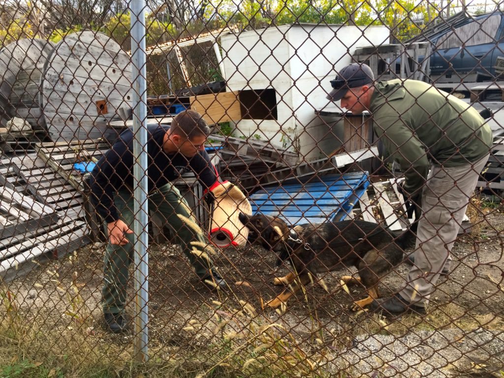Dog trainers wear special protective gear while the dogs train to apprehend suspects.