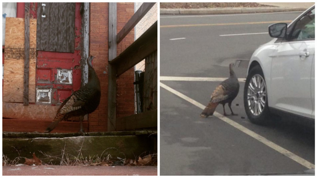 Wild turkeys pop up in West Philly earlier this year.