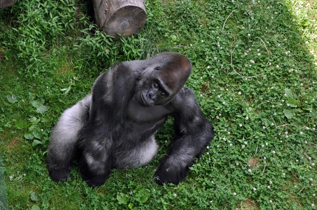 gorilla-motuba