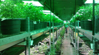 A marijuana growing operation in Colorado.