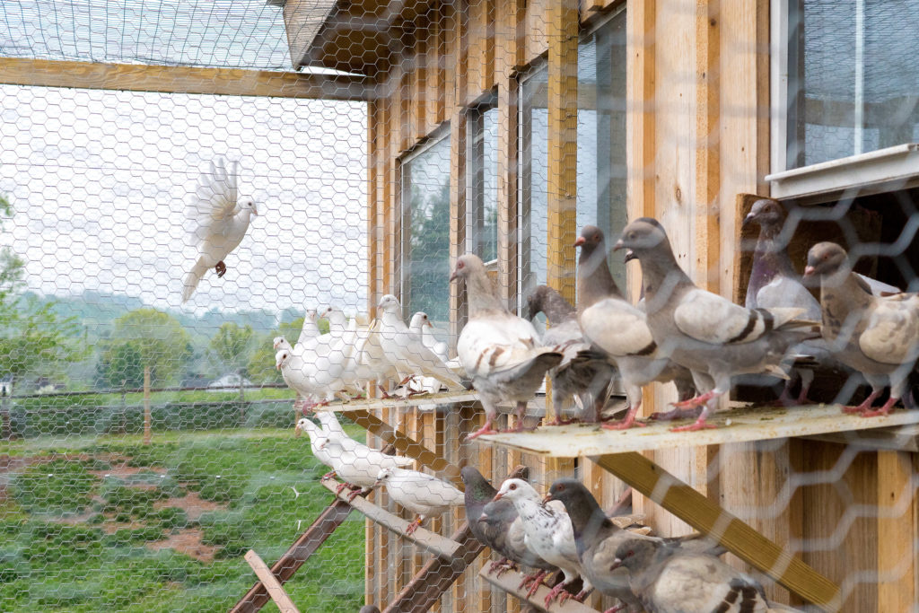 Weaver breeds both white and silver King pigeons