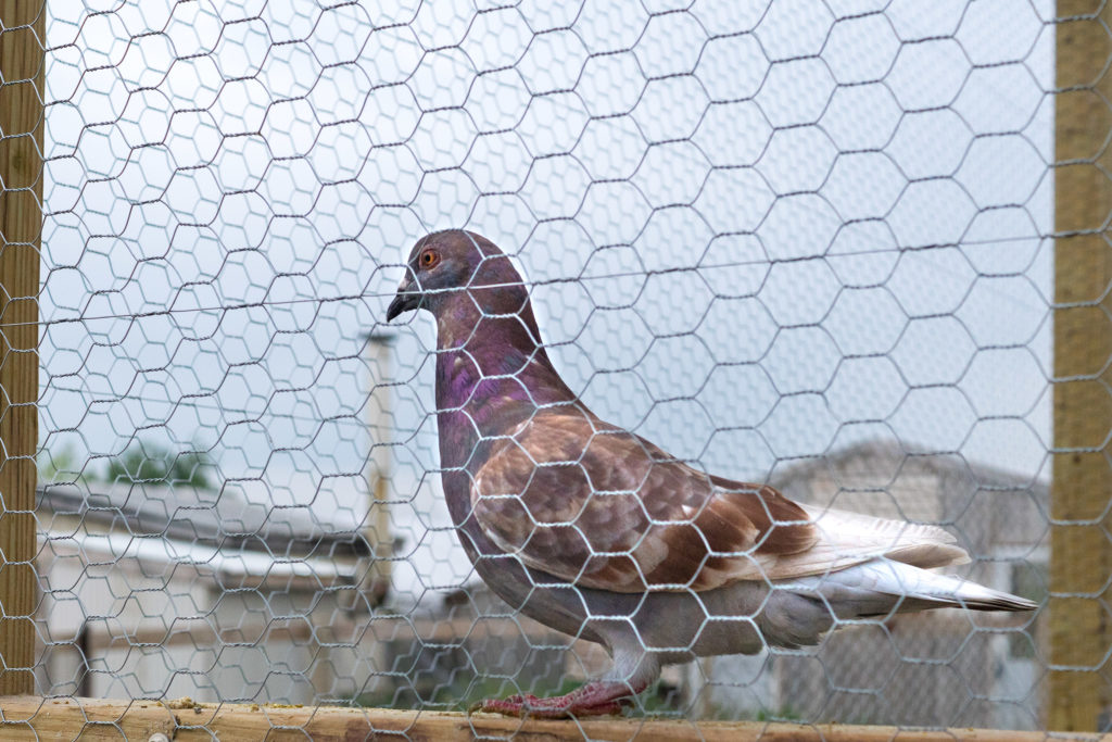 A pigeon in its coop at the Lancaster County farm