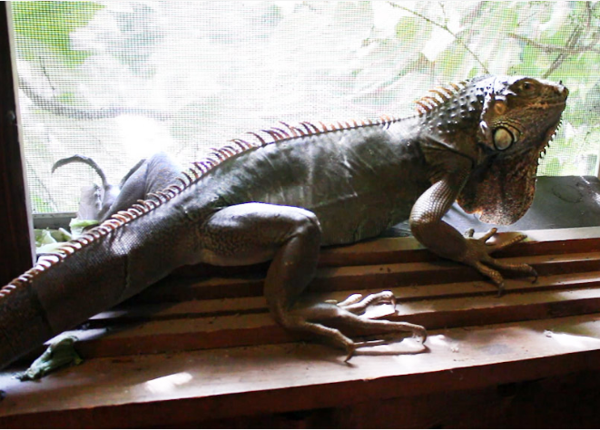 Iguana pets house