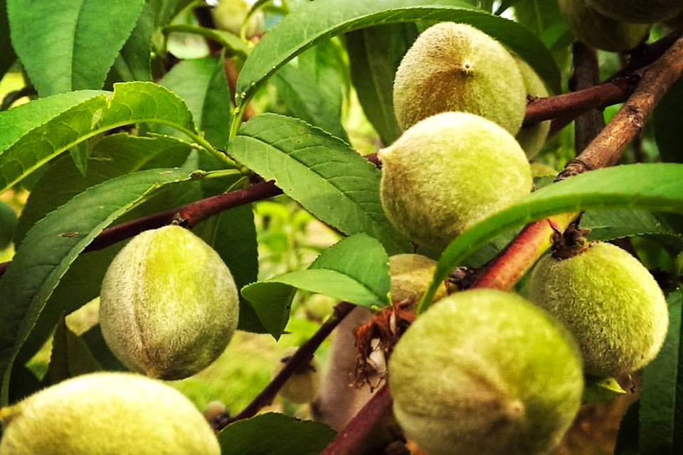 North Star Orchard owners were thrilled when peaches actually began growing this year