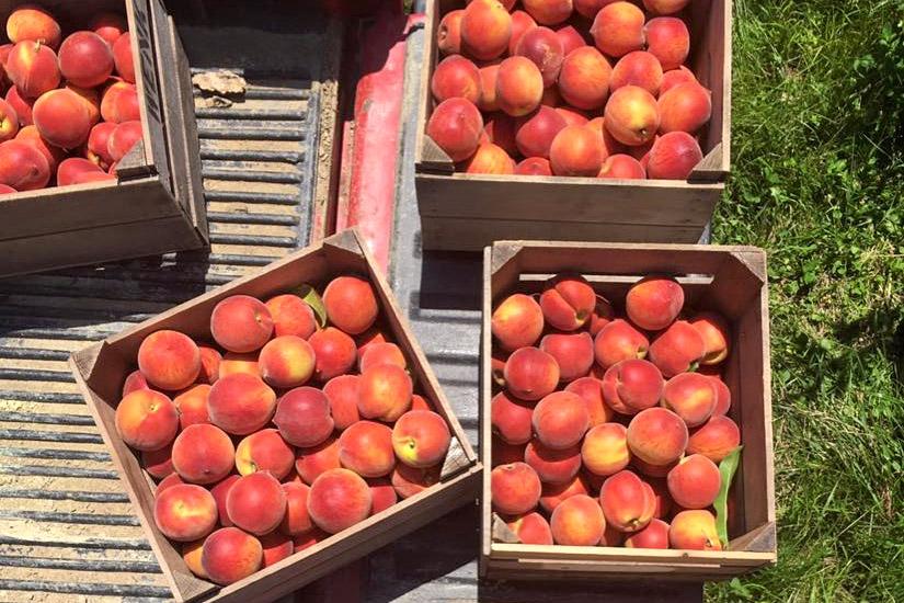 Three Springs 2016 peach crop, looking good