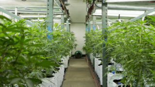 Cannabis plants grow inside Colorado Harvest Company's 10,000-square-foot facility in south Denver.