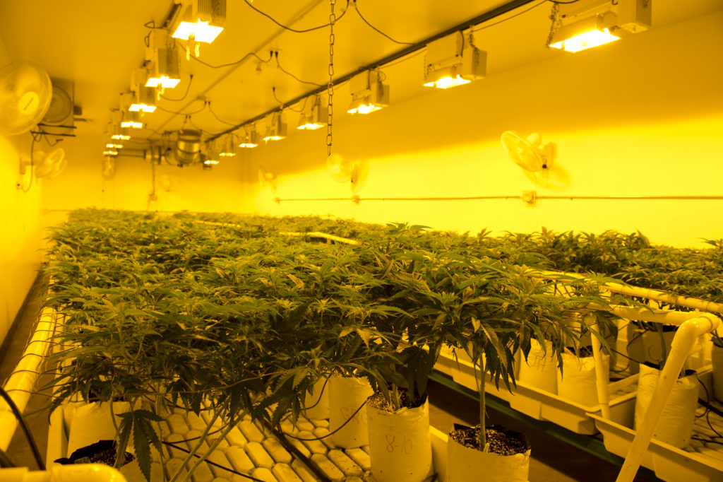 The yellow light of high-pressure sodium lamps mimics autumn light and helps in the cannabis-growing process inside Colorado Harvest Company's 10,000-square-foot facility in south Denver, photographed Sept. 16, 2016.
