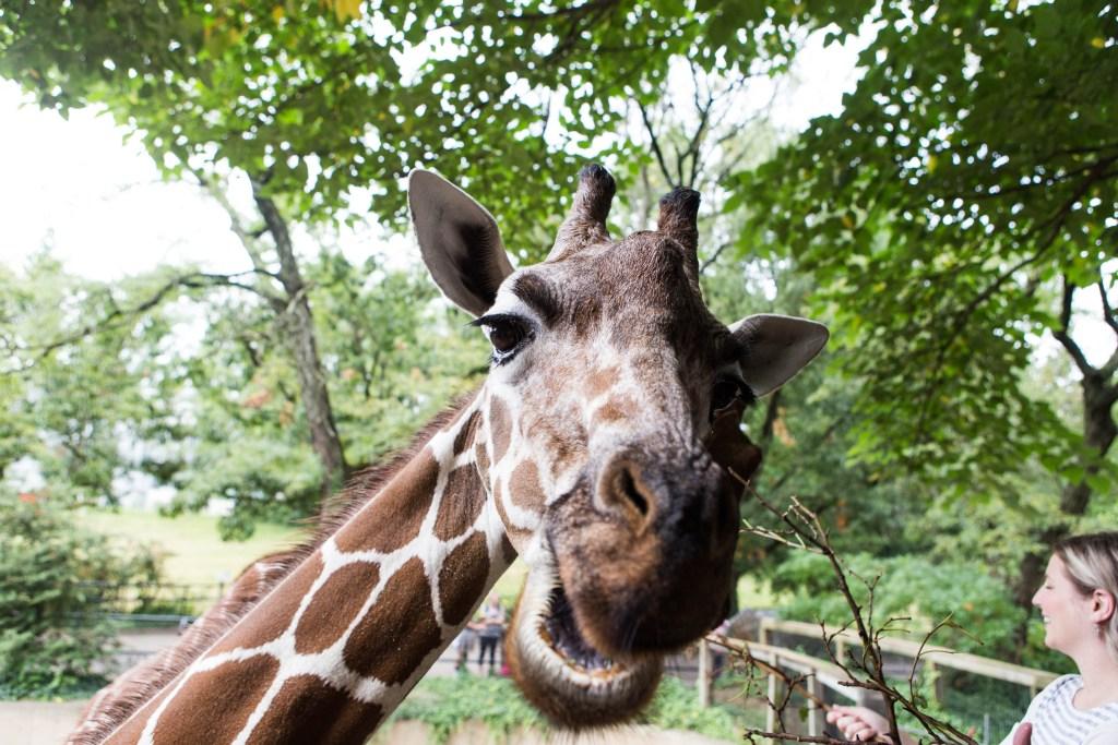 09_14_2017_FeedingGiraffes_Schaefer-11