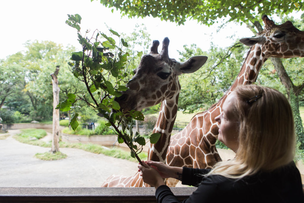 Betsey Cichoracki, one of Philadelphia Zoo's events managers, feeds one of the zoo's giraffes, Stella, on Thursday, Sept. 14.