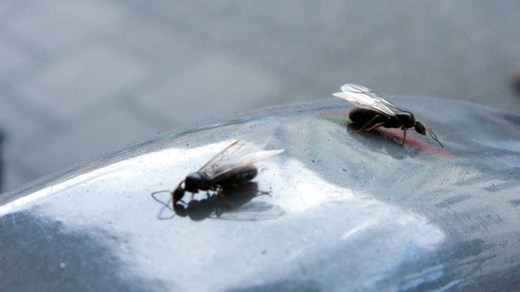Flying ants similar to these swarmed Philly Monday night