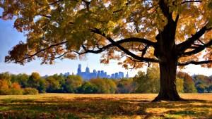 The Philadelphia skyline as framed by the Belmont Plateau maple