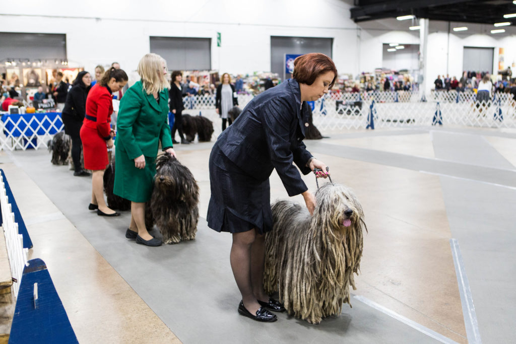 Bergamasco Sheepdogs in show