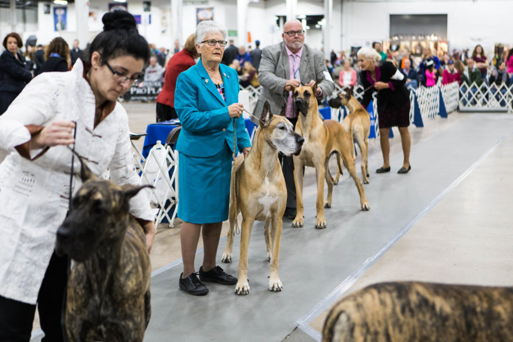 Great Danes in show