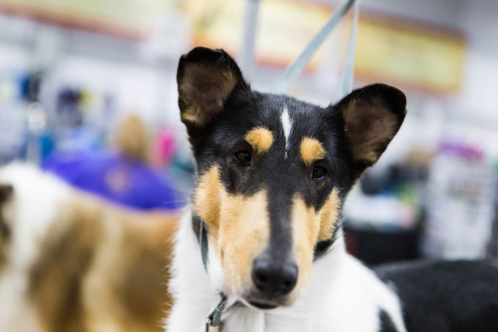 GCHB Tir Na Nog Brighton the Night of Willow Fox Farm, Smooth Collie