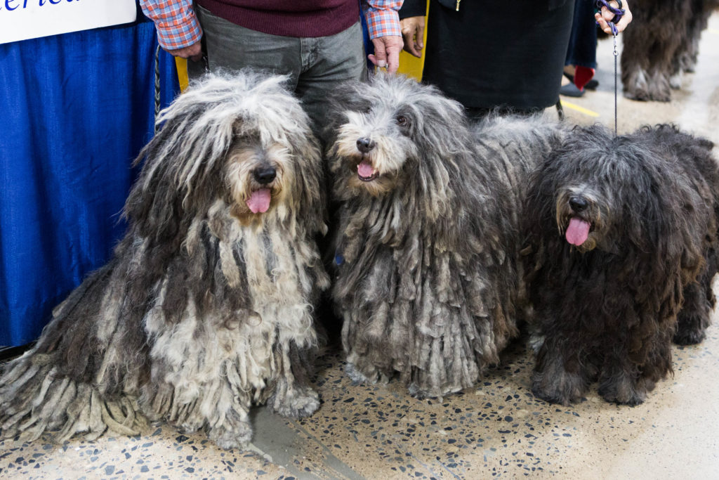 Fidelio, Gemma and Artemis (left to right), Bergamasco Sheepdogs