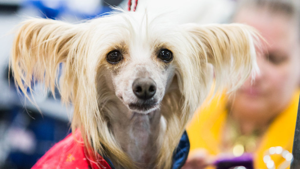 Happy, a Chinese Crested Dog