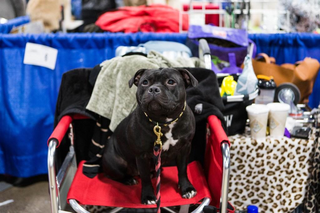 Callie, Staffordshire Bull Terrier