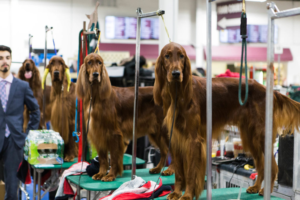 Chance, Braden, Coral and Zack (left to right), Irish Setters