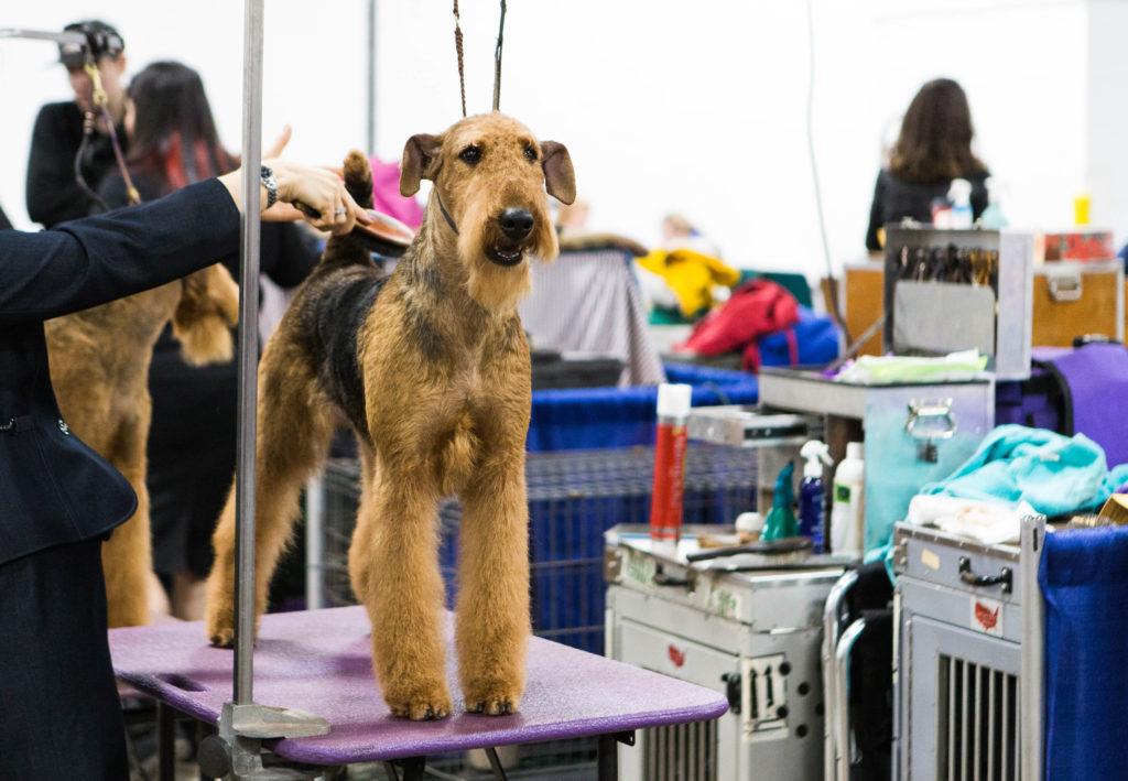 Joval No Greater Glory, Airedale Terrier