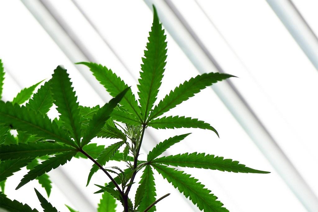 marijuana-colwell