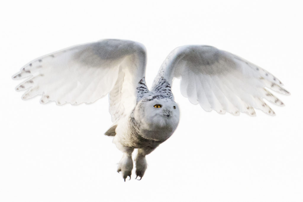 In flight, snowy owls look majestic