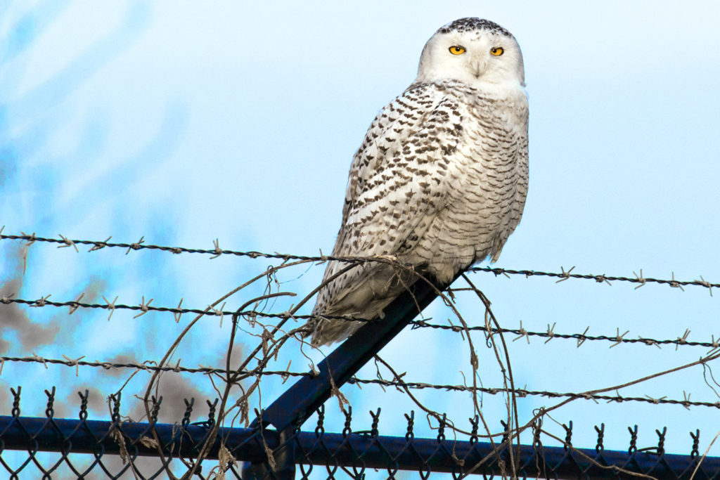 Airport fences' barbed wire doesn't bother these owls