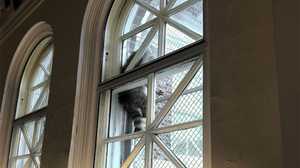 A baby raccoon climbs the window security gate at Tacony Library
