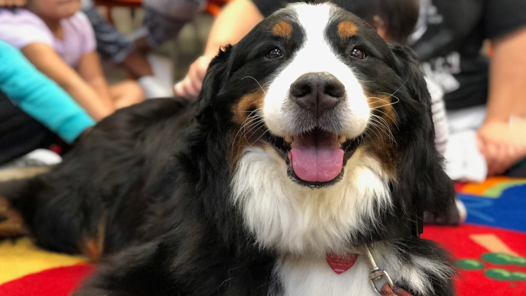 Konig, a Bernese Mountain Dog, at the Queen Memorial Library