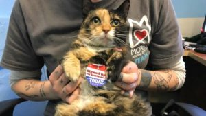 Cuddly 10-year-old calico shorthair Klara is up for adoption.