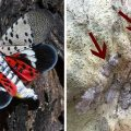 To stop lanternflies before they're full-grown, scrape off their eggs