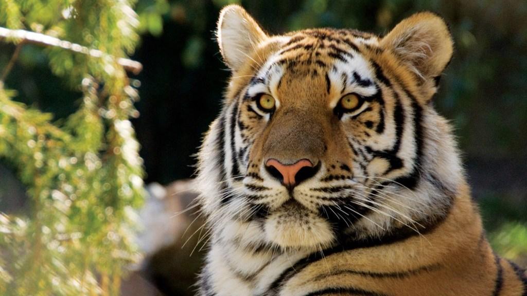 Hello, tiger. Please stay healthy.