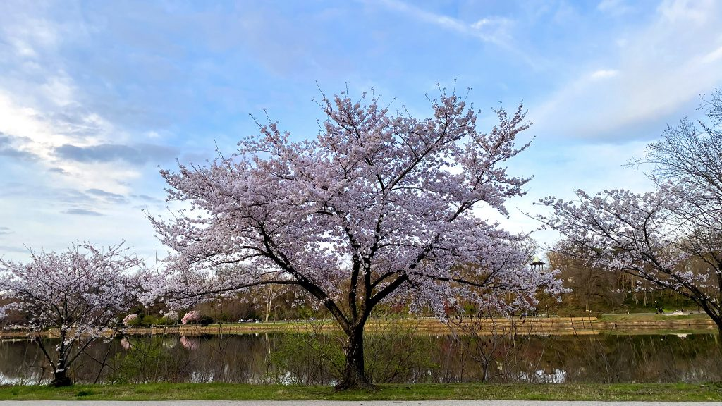 A tree in spring bloom next to the Schuylkill River in Philadelphia