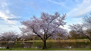 A tree in spring bloom next to the Schuylkill River in Philadelphia, March 2020