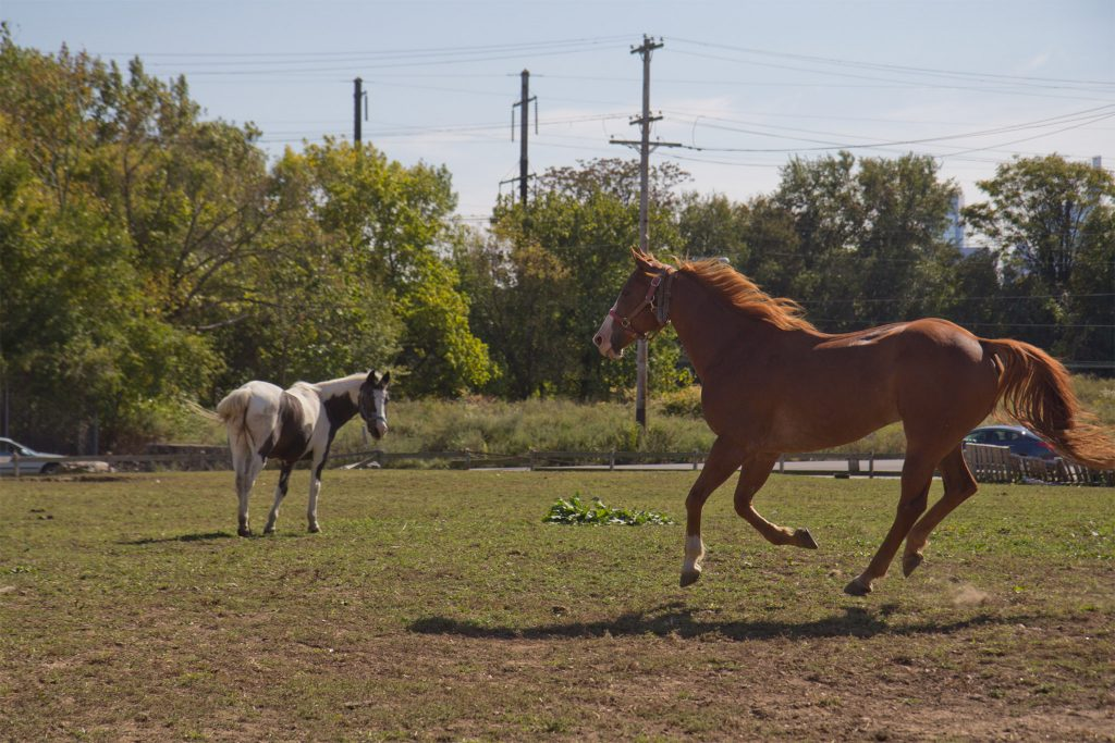 Horses frolic and graze at the lot across from the Fletcher Street Stables in Strawberry Mansion