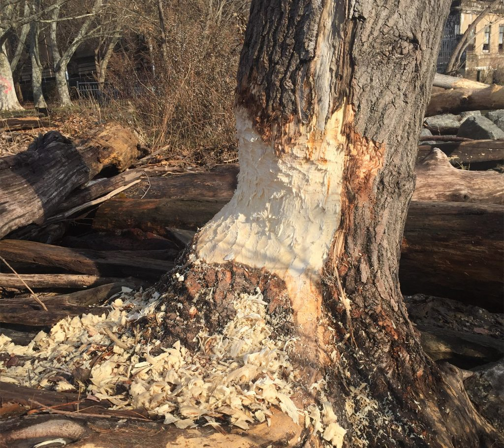 'Beaver chew' on a tree in Penn Treaty Park in 2018