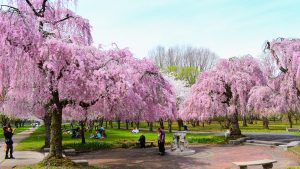 cherryblossoms-fairmountpark-crop