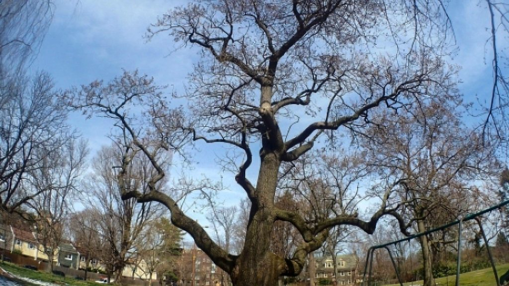The large Paulownia in Cloverly Park is renowned throughout Pa.